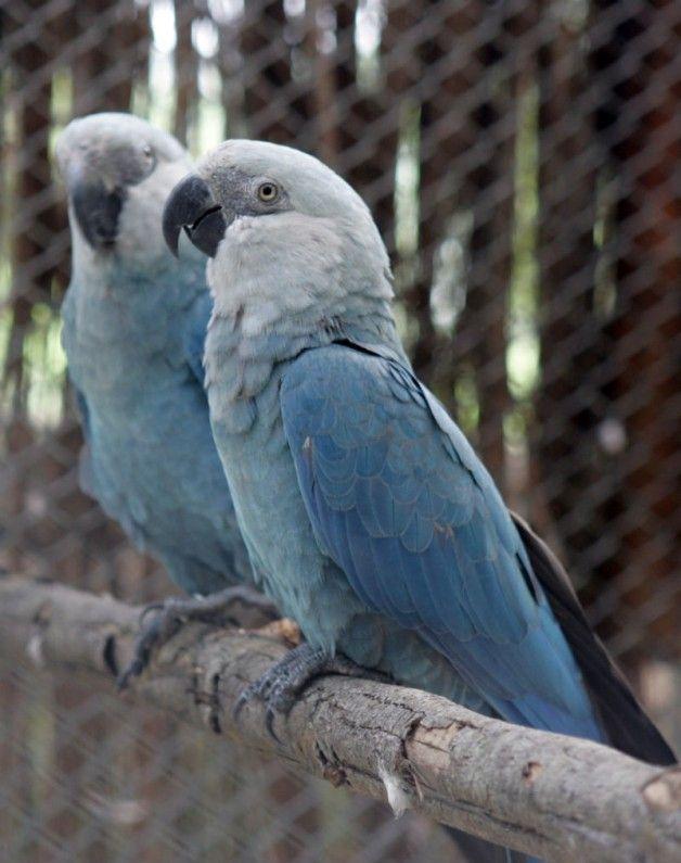 ararinha_azul uma ave praticamente extinta, é avistada na caatinga