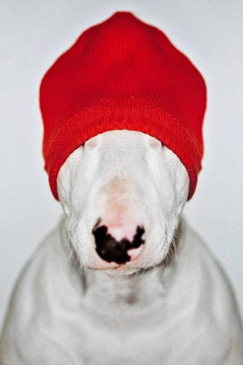 Bull terrier in hat. Of course.