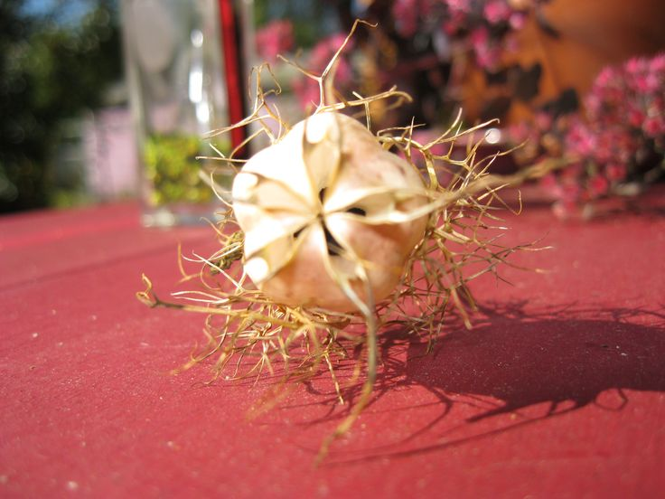 Saving nigella seeds, Sept