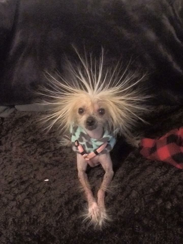 Washed my hair, can't do a thing with it..... (Now here's a pet right out of a Dr. Suess book.) Chinese Crested.