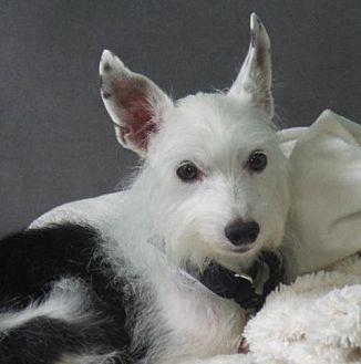Potomac, MD - Chinese Crested/Italian Greyhound Mix. Meet Simon Peter, a dog for adoption. http://www.adoptapet.com/pet/19138210-potomac-maryland-chinese-crested-mix