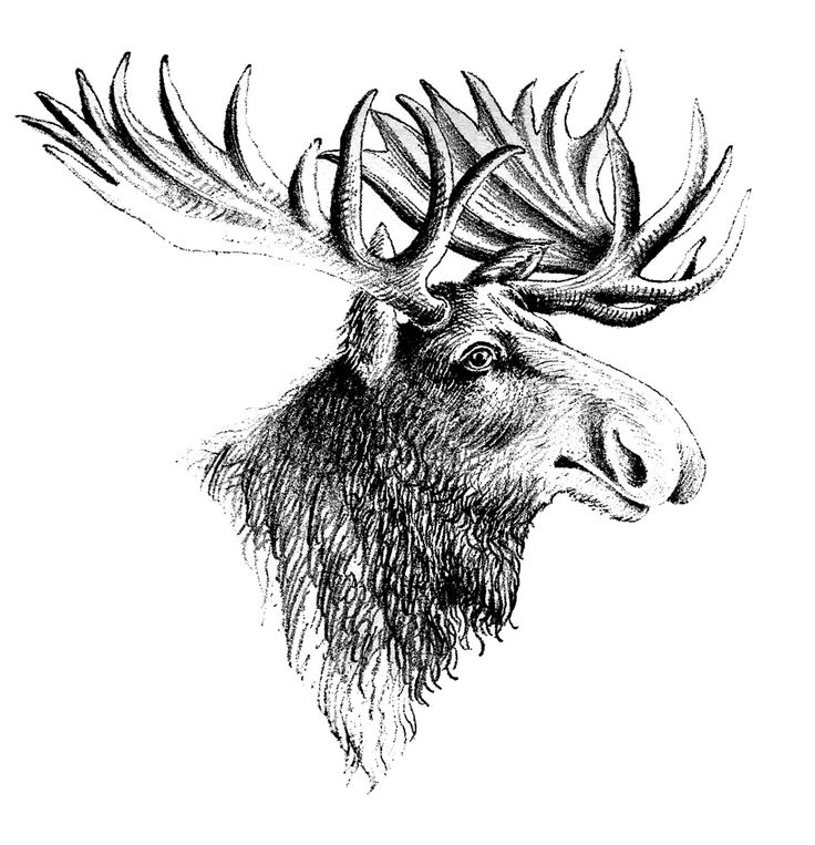 drawings of moose | Vintage Clip Art - Moose - The Graphics Fairy