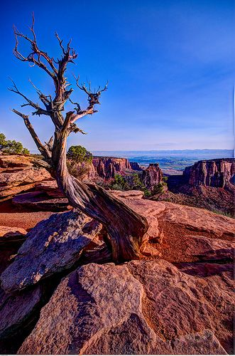 Joshua tree, Colorado National Monument, Fruita, Colorado.  Our family Christmas picture was by this tree one year!!