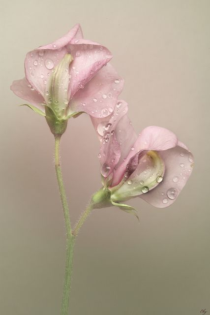 These Sweet Peas picked fresh from the garden have the perfect combination of perfume and colour #boden