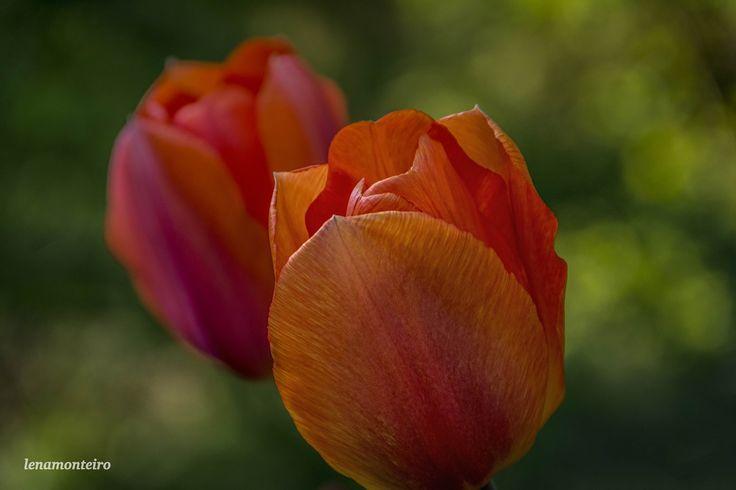 Orange Tulips... - Rideau Canal, Ottawa, Ontario, Canada, North America