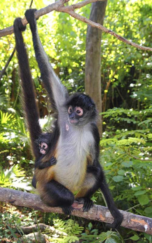 Spider Monkeys - New World monkeys