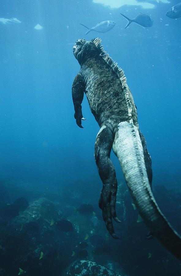 A Marine Iguana Swims Underwater