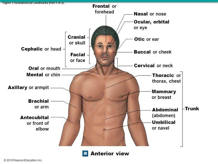 2015 Pearson Education Inc Chapter 1 Anatomy Amp Physiology 1 Anatomy And Physiology Physiology Pearson Education