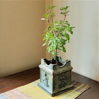 Vastu Vriddhi: Vastu Tip # 1 : Tulsi plant, an indicator of vastu...