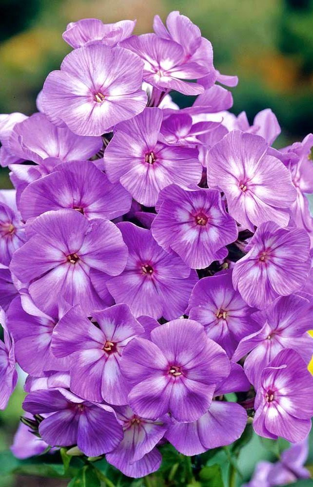Laura phlox tall phlox are easy to grow low maintenance for Pretty low maintenance flowers