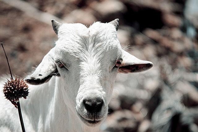 Free photo: Goat, Cattle, Domestic, Animal - Free Image on Pixabay - 2908241