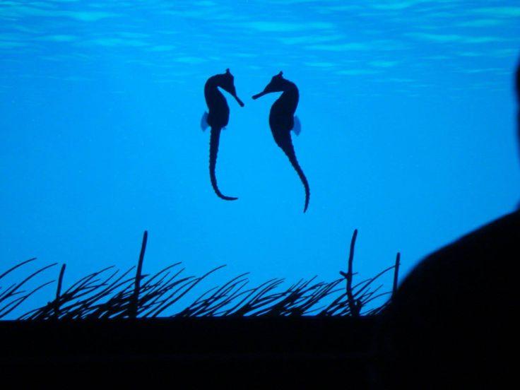 Tudtátok, hogy a legtöbb haltól eltérően a tengeri csikók egy életre választanak párt maguknak, és ritkán kóborolnak el messzire egymástól?