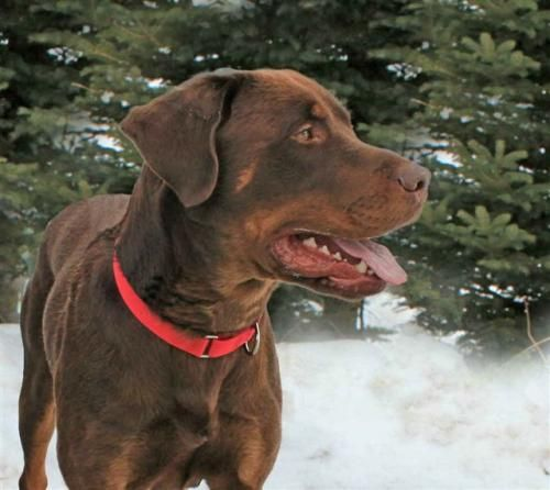 Moose is an adoptable Rottweiler, Chocolate Labrador Retriever Dog in Manistique, MI Moose is a large handsome young dog.  He coat shines a wonderful red with tan markings. Moose h ... ...Read more about me on @Petfinder.com.com.com