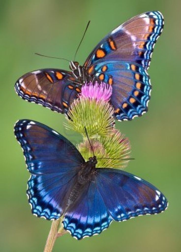 ~~Red-spotted purple butterflies by Cathy Keifer~~