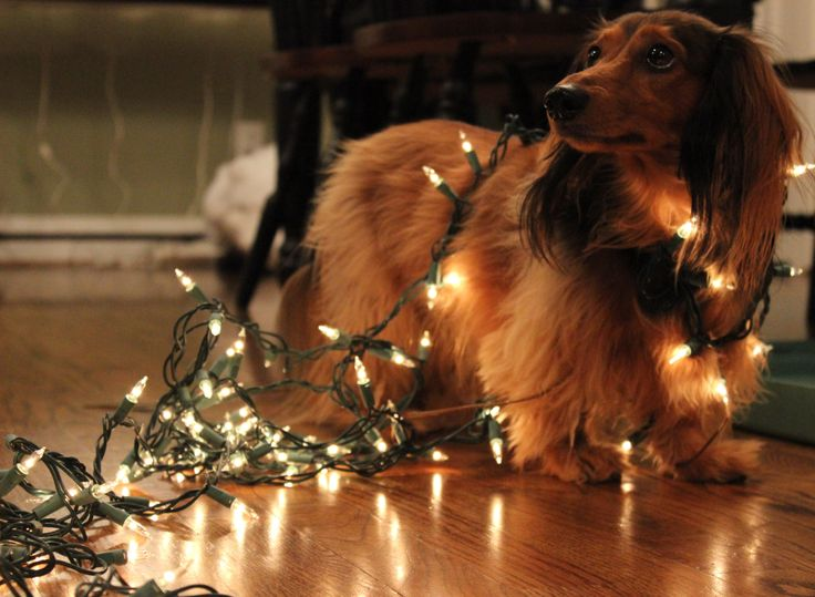 191 best Dogs Wrapped in Christmas Lights images on Pinterest ...