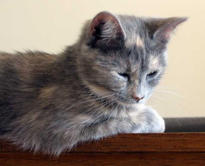 dilute tortie - Google Search