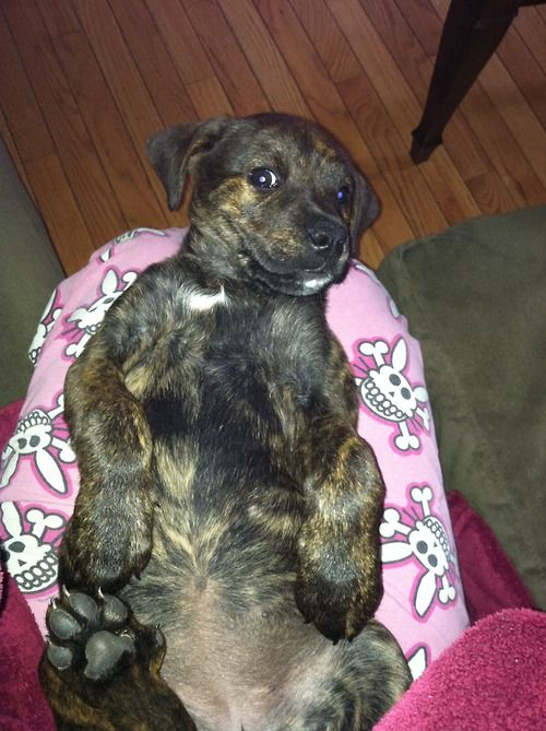 Boxer - Rottweiler Mix Puppy