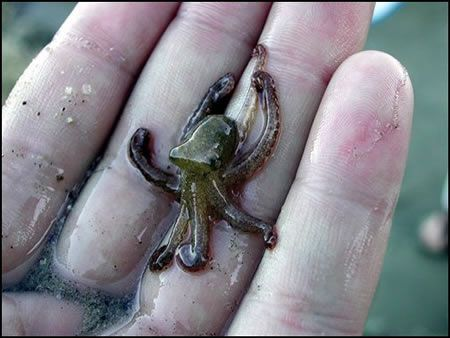 Tiny Adorable Animals That Will Make You Squee -- Definitely squeeing over this tiny octopus! :3