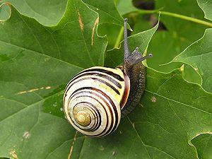 Banded Snails (Cepaea Held 1838)