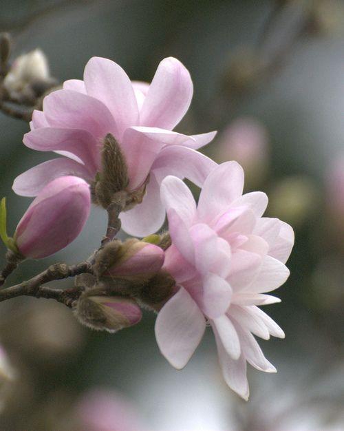 magnolia blooms1  by Linda Strickland on Flickr