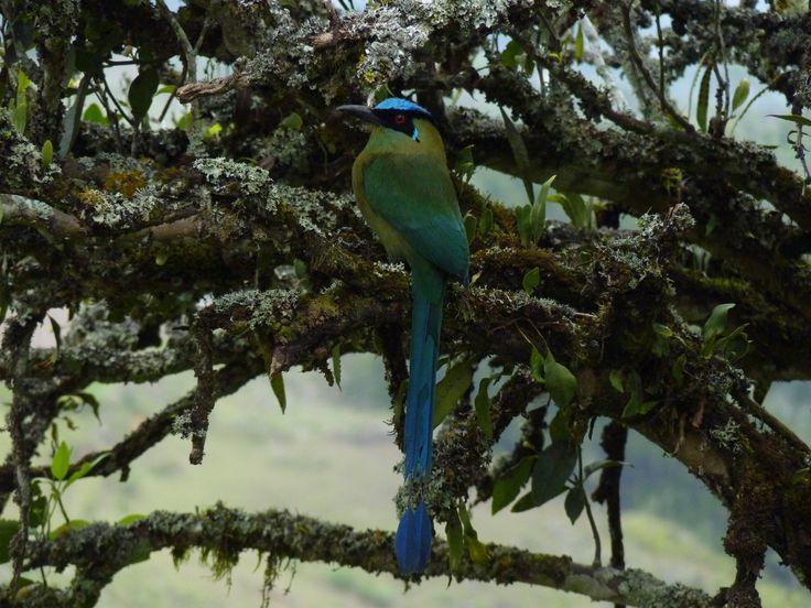El Barranquero, o Soledad, como es llamado el Momotus aequatorialis, asiduo visitante en las montañas del Oriente Antioqueño, Colombia. Aquí, entre los pinos, buscando comida (insectos).