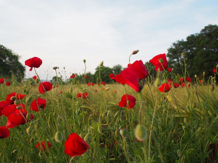 The poppies are beautiful in the green landscape of nature