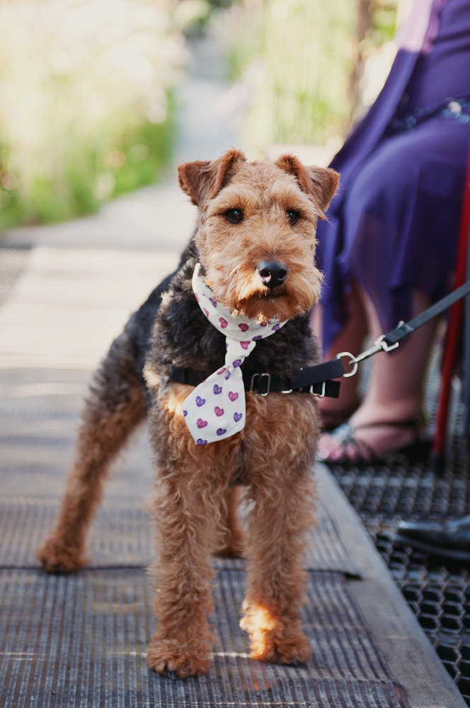 10 best dogs in weddings images on pinterest bridal pictures