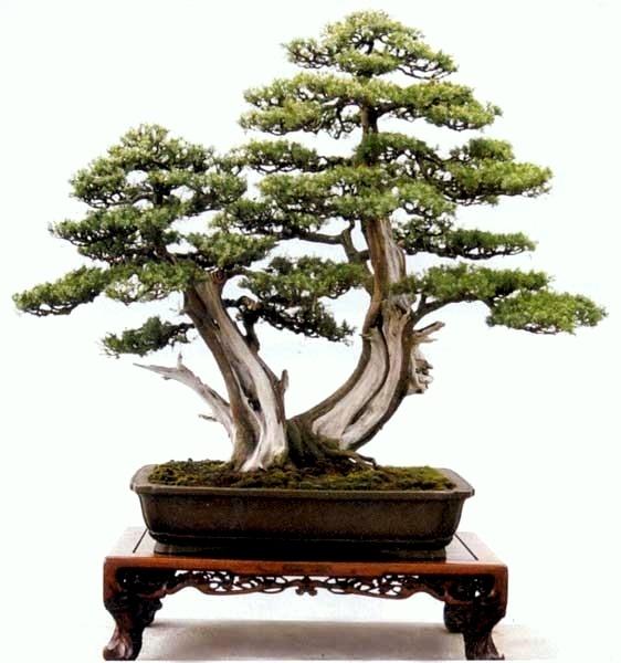 Penjing double trunk tree