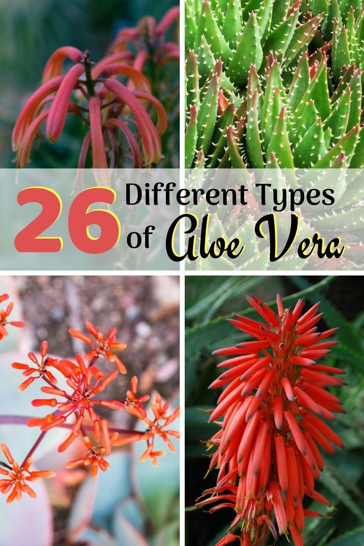26 Different Types Of Aloe Vera Types Of Aloe Plants Aloe Plant Growing Aloe Vera