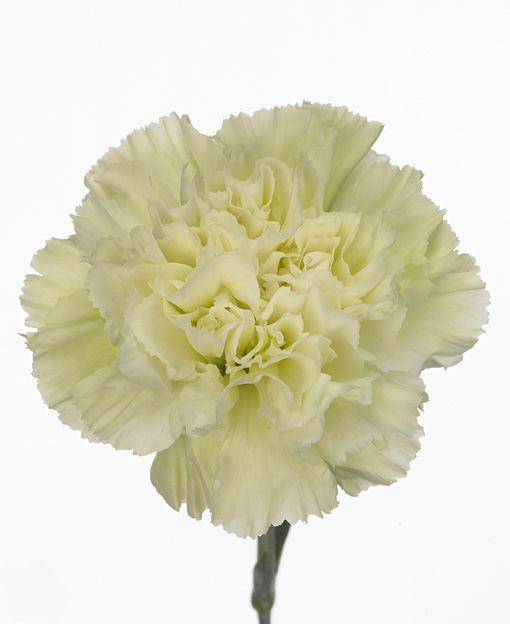 DGI » Dianthus Green Go