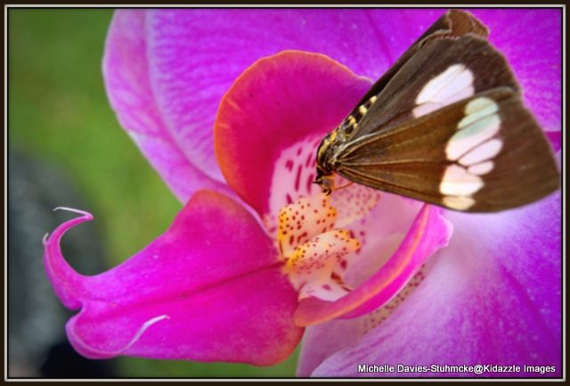 michelle-davies-transformations-queensland-cooktown-orchids-and-a-butterfly.jpg (640×433)
