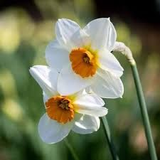 Image result for narcissus barrett browning