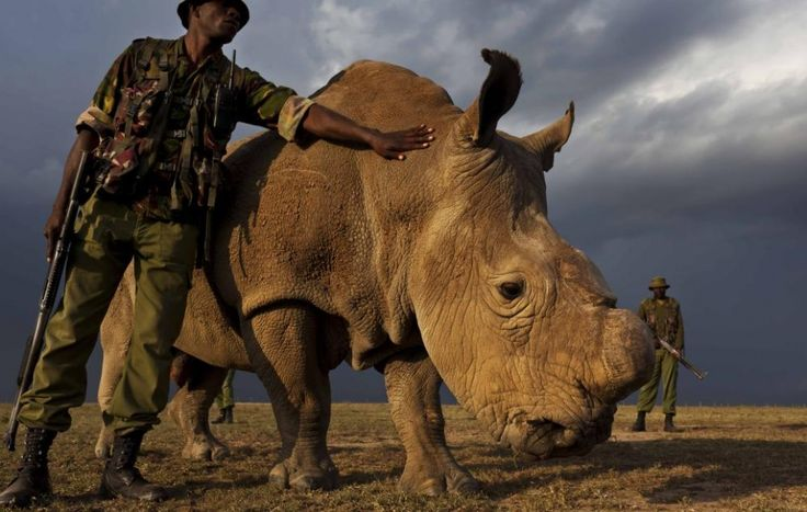 At home with the world's last male northern white rhinoceros   Environment   The Guardian