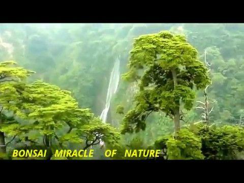 BONSAI   MIRACLE    OF   NATURE