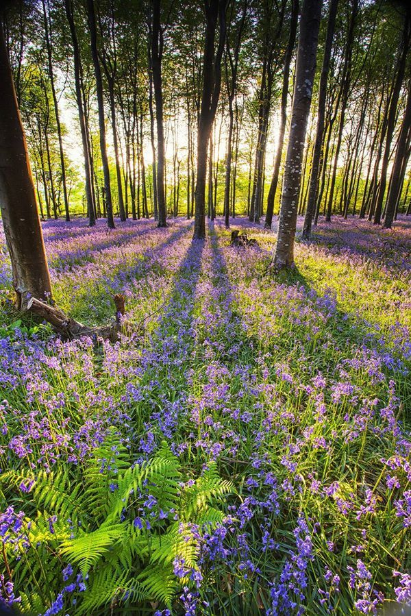 #Bluebells | Nature | Magical Lanes and Woodland | Nature ...