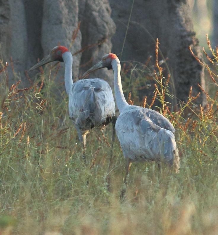 Brolgas, Artemis Station Cape York. Anecdotal evidence suggests numbers are reducing. #birds #birding #birdwatching #