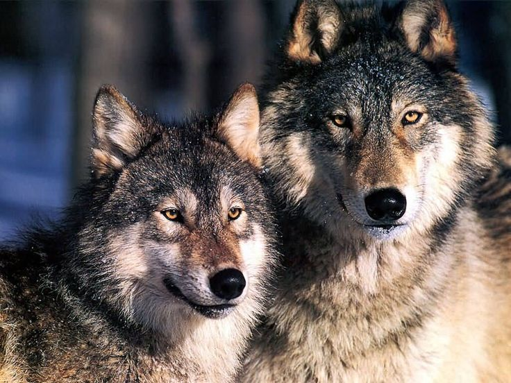 DEFENDERS OF WILDLIFE ~ Standing Up For Wolves. Check them out http://www.defendersblog.org/2012/09/standing-up-for-wolves/