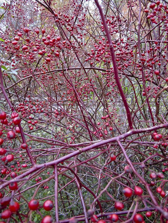Rosehips - great for christmas decorations