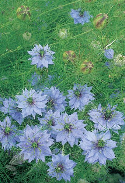 Nigella Damascena. Position: full sun Soil: any well-drained soil Rate of growth: fast growing Flowering period: July to September Flower colour: sky-blue Other features: excellent cut and dried flowers Hardiness: fully hardy annual