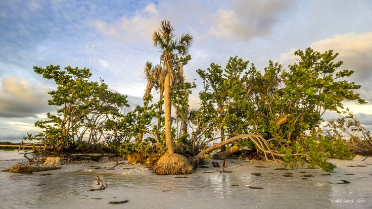 Aftermath - Twisted, broken, uprooted, and laid bare - a small oasis of trees along the shore of Honeymoon Island in Florida shows devastating erosion, in the aftermath of Hurricane Hermine which slammed into the gulf coast at the beginning of September, 2016. Wind and waves driven by the storm conspired to drastically change a newly refurbished beach, driving several feet of sand farther inland or elsewhere along the coast.
