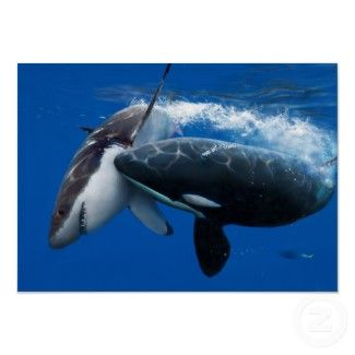 The Orca is attacking the Great White Shark in the open ocean.