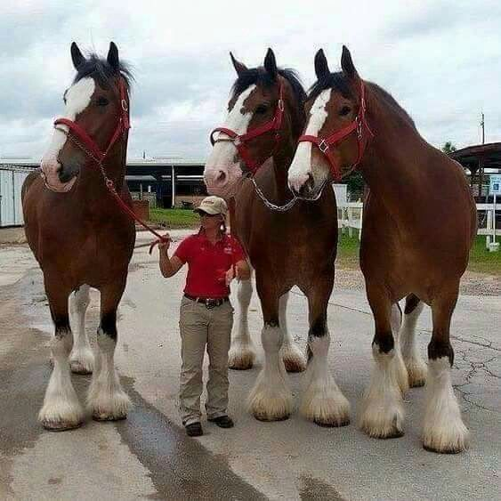 Clydesdale horses are huge!