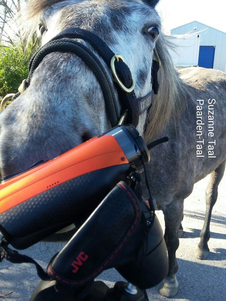 Lieve Luna is dol op de camera!  Wist je ik mijn trainingen vaak film? Leuk voor de eigenaar. En goed om mezelf nog een kritisch te bekijken :)  Www.facebook.com/paarden0taal   #fun #horsesofinstagram  #instahorse  #horselove #Horseoftheday  #horsestagram  #horseswag  #horsesplanet  #Horsegirl  #instagood  #Topliketags