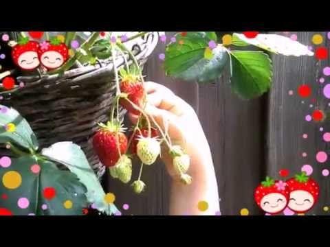Aardbeien plukken in de tuin