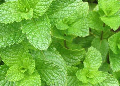 spearmint.jpg 420×300 pixels: Peppermint Essential Oils, Hippie Summer, Chemical Free, Essential Oil Using, Aromatherapy, Herbs, Hot Summer Day, Green, Summer Days