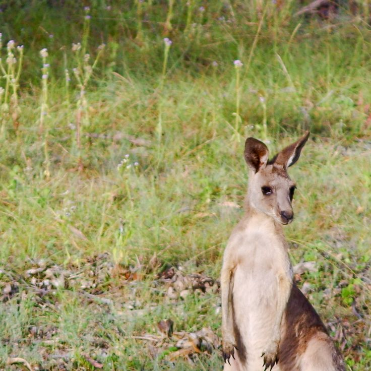 This cheeky little fella, part of our mob, was just letting me know he knew I was there.   Single Adult Kangaroo