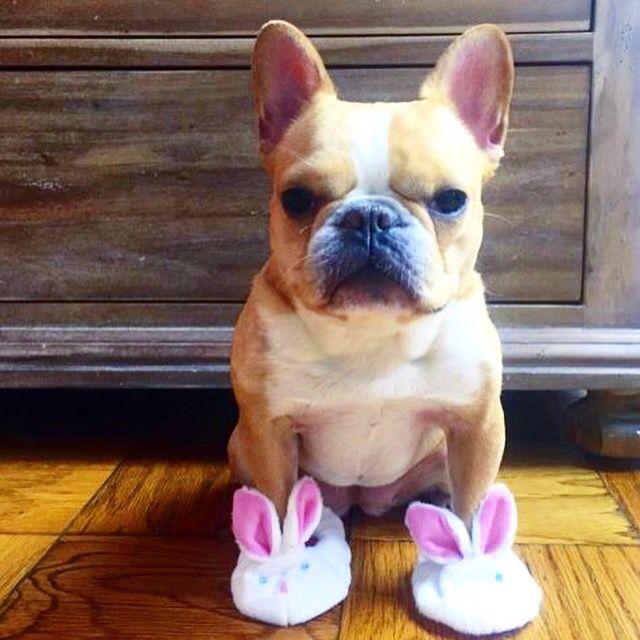 Good morning fellas! Just tried my favorite bunny slippers Am I the cutest? #beautifulpet #petsofinstagram #petsagram #petlover #petoftheday #photooftheday #likesforlikes #cuteness #cutiepie #dogstagram #dogslife #beautiful #puppylove #puppiesofinstagram #puppylife