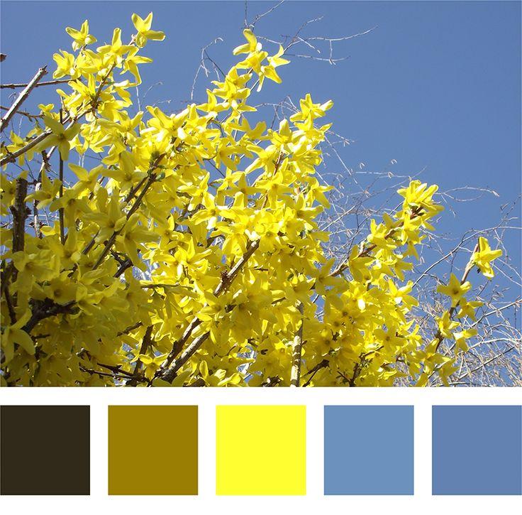 Aranyeső színpalettával #aranyeső #flower #spring #tavasz #színpaletta #springcolor #sárga