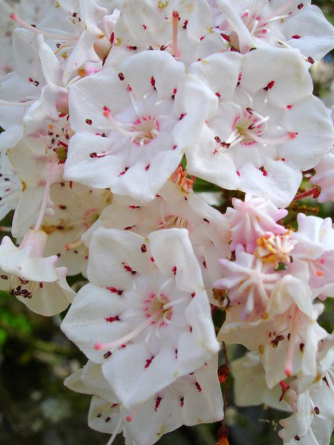 Mountain laurel blooms in Mt. Cheaha.  They look like peppermint candy. Essa são por demais , me lembra Angelica.