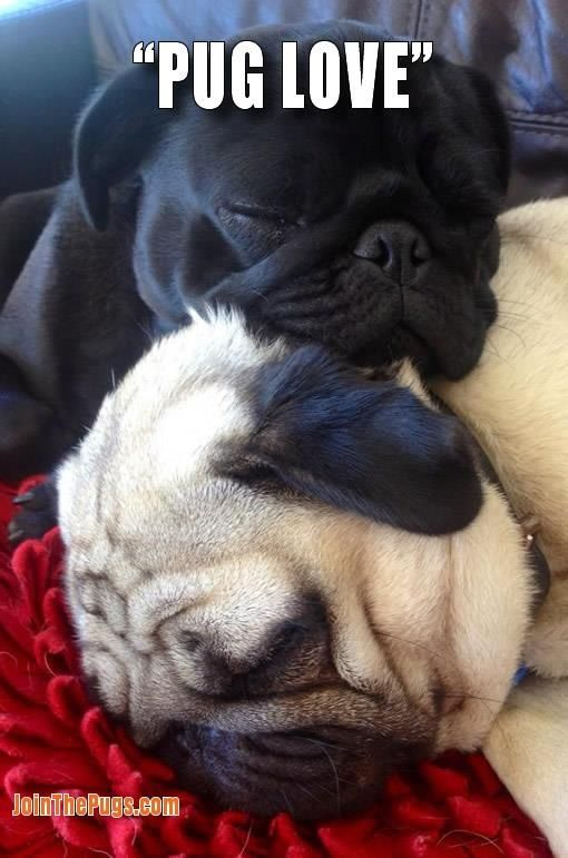 Sleeping pugs- reminds me of my babies... before Leah went with uncle buck =(
